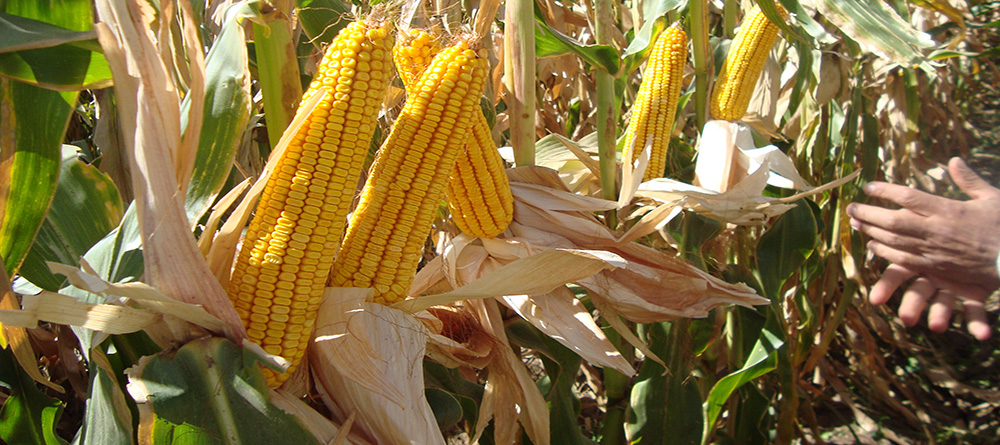 Producer of maize seeds with high resistancy agianst enviromental tensions and disease